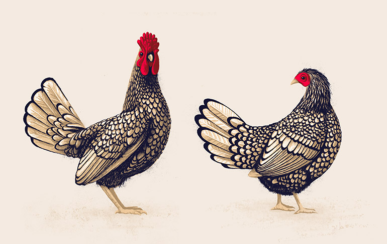 Chicken pair 2