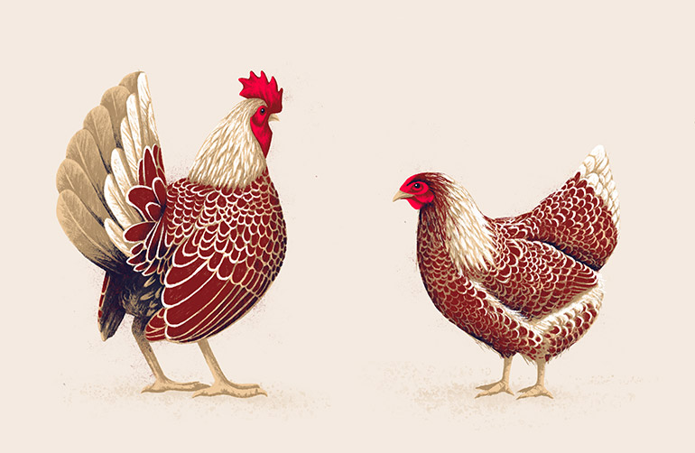 Chicken pair 3