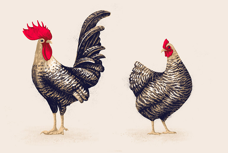 Chicken pair 4